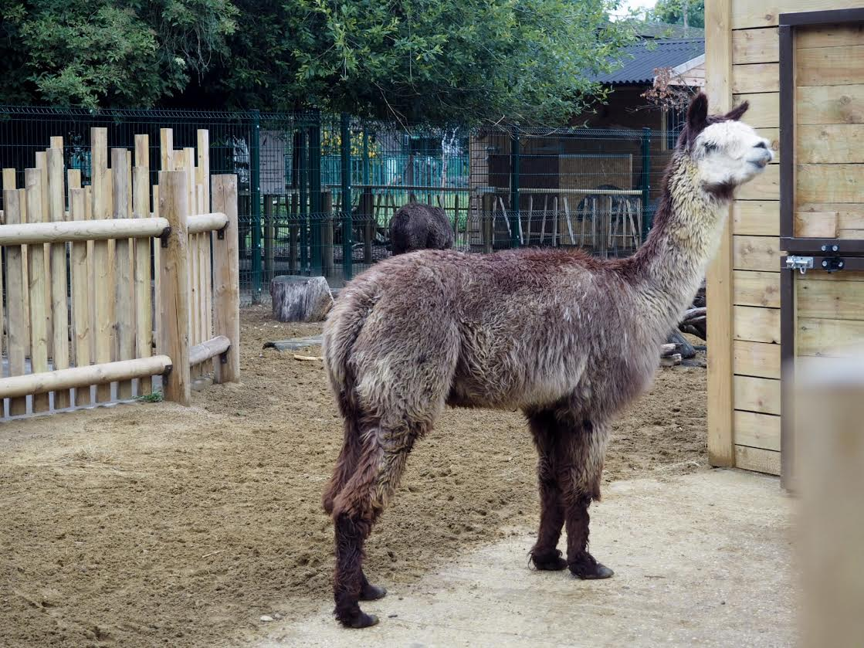 Paradise Wildlife Park alpaca